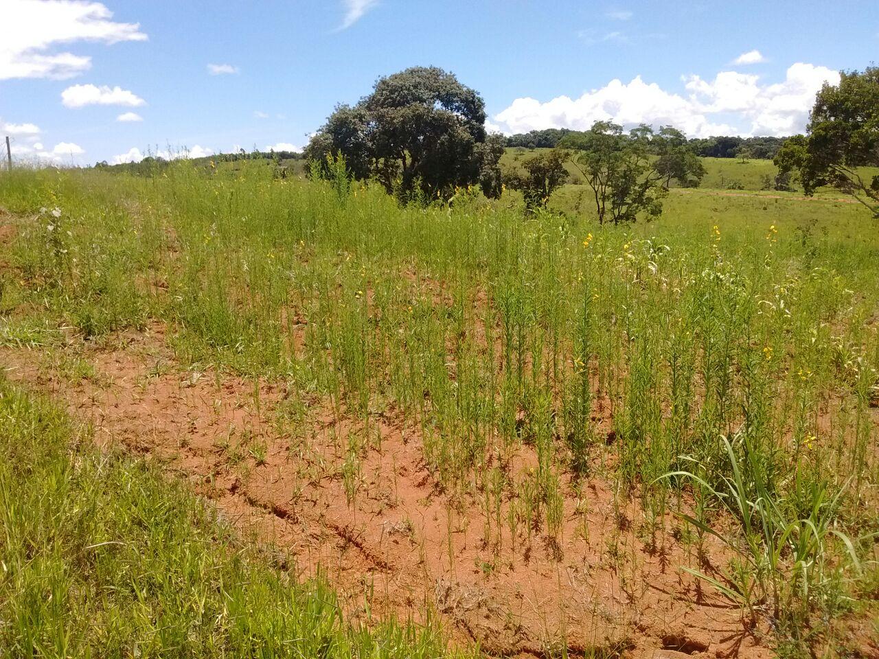 Plantação de crotalária e milho no SAF