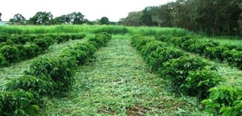 O uso da adubação verde destaca-se em economia de custos, aumento de produtividade e melhor qualidade do alimento
