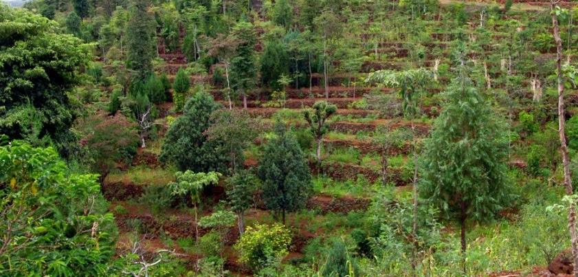 Sistemas Agroflorestais (SAFs), como comecar um