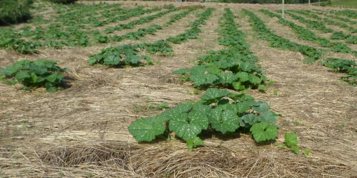 Sistema de Plantio Direto, revolução na agricultura