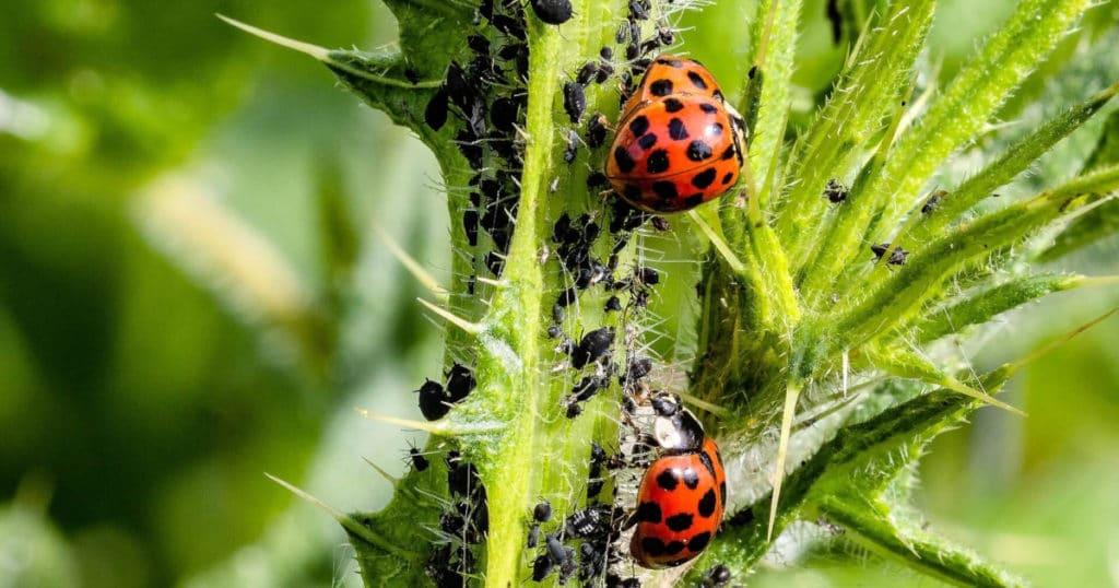 Controle biológico, agroecológico e Microrganismos Eficientes.