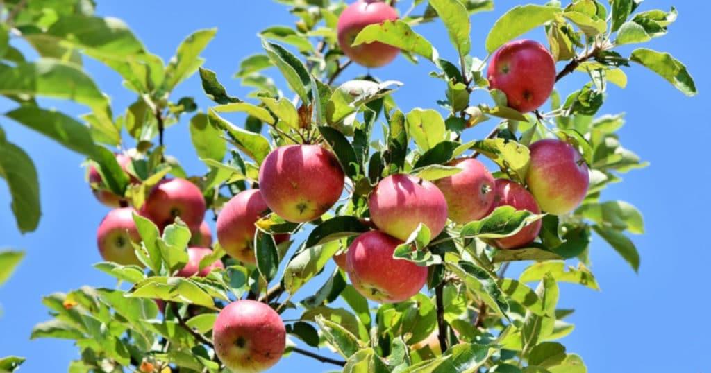 Controle pomar da mosca-das-frutas