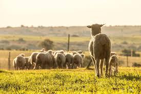A Ovinocultura no Brasil e seus desafios